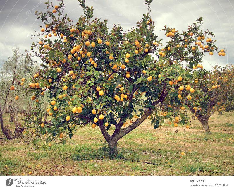 l'orange Natur Frühling Baum exotisch Orangenbaum Plantage Durst viele Mallorca Farbfoto Gedeckte Farben Außenaufnahme
