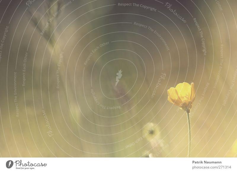 Traum Umwelt Natur Landschaft Frühling Sommer Pflanze Blume Gras Wildpflanze berühren Blühend leuchten ästhetisch Duft Freundlichkeit frisch nah gelb gold grün