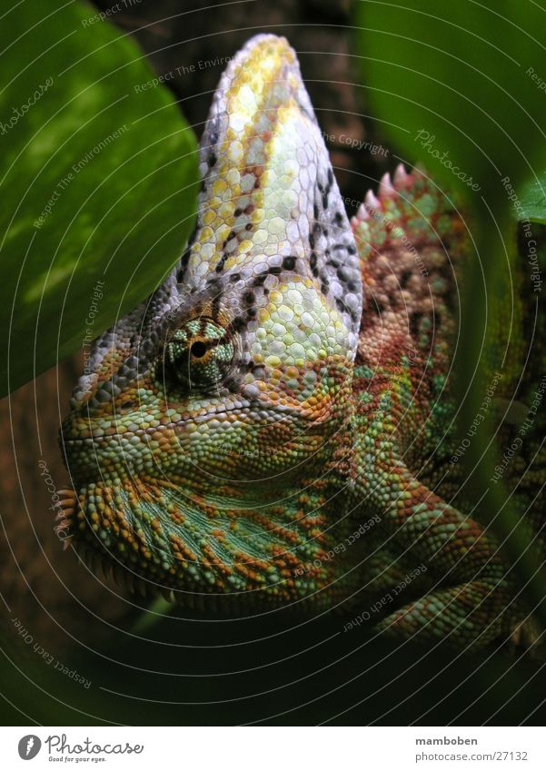 Chamaeleo calyptratus Chamäleon Tier Jemen Urwald mehrfarbig Calyptratus Natur
