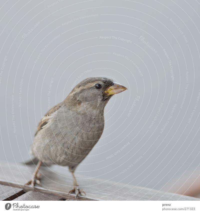 matz Natur Tier Umwelt Holz grau Vogel Wildtier Tisch Spatz Sperlingsvögel