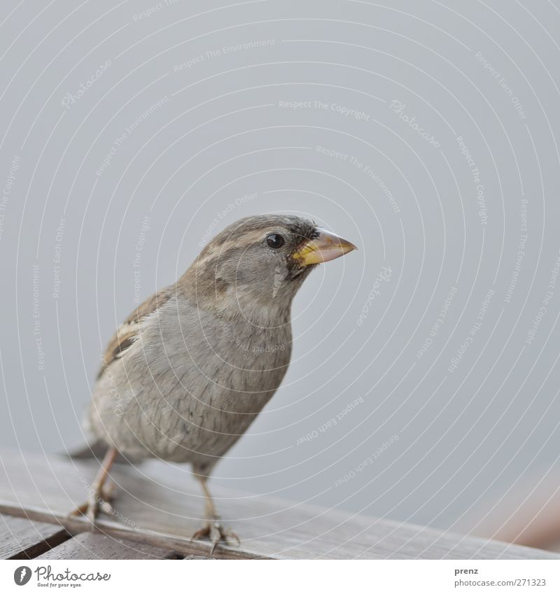 matz Umwelt Natur Tier Wildtier Vogel 1 grau Spatz Sperlingsvögel Tisch Holz Farbfoto Nahaufnahme Menschenleer Textfreiraum oben Hintergrund neutral Tag