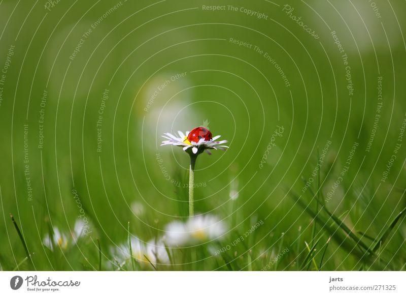 mittendrin Natur schön Pflanze Sommer Blume Tier ruhig Erholung Gras Wildtier natürlich schlafen Schönes Wetter Gelassenheit Gänseblümchen Käfer