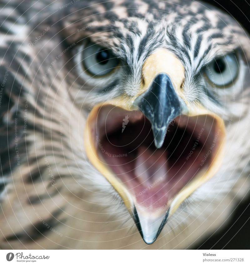 große Klappe..... Tier Vogel bedrohlich Aggression Tatkraft Greifvogel Angesicht zu Angesicht Falken Starrer Blick