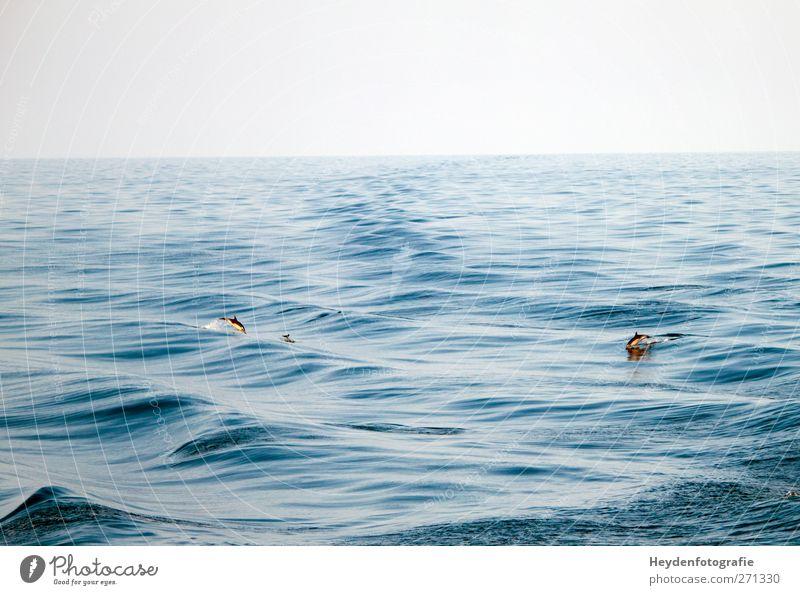 Delphine im Mittelmeer Himmel Natur Wasser Meer Tier Frühling Schwimmen & Baden Zusammensein elegant Wellen Wildtier Wind Energie Geschwindigkeit Tiergruppe