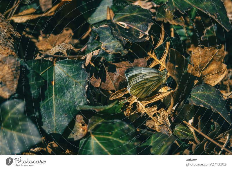 Ein Schmetterling zwischen fallenden Blättern schön Körper Leben Natur Pflanze Tier Herbst Blatt Wald niedlich braun grün Farbe Fauna Hintergrund gefallen