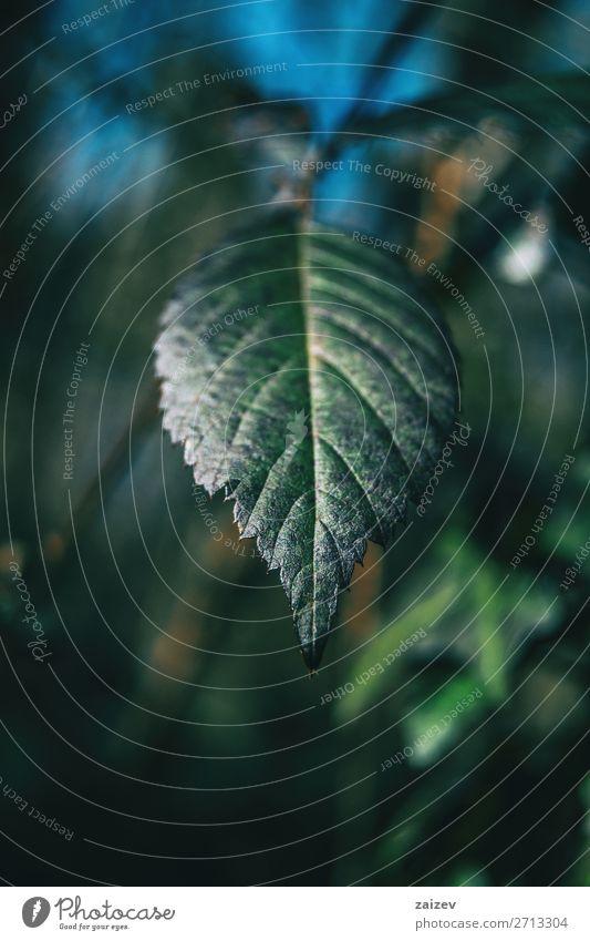 Nahaufnahme eines Blattes von Rubus ulmifolius mit unscharfem Hintergrund schön Leben Meditation Umwelt Natur Pflanze Sträucher Wald Wachstum frisch natürlich