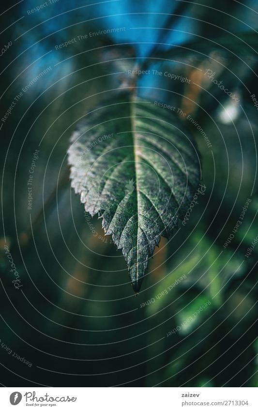 Nahaufnahme eines Blattes von rubus ulmifolius schön Leben Meditation Umwelt Natur Pflanze Sträucher Wald Wachstum frisch natürlich grün Einsamkeit Farbe