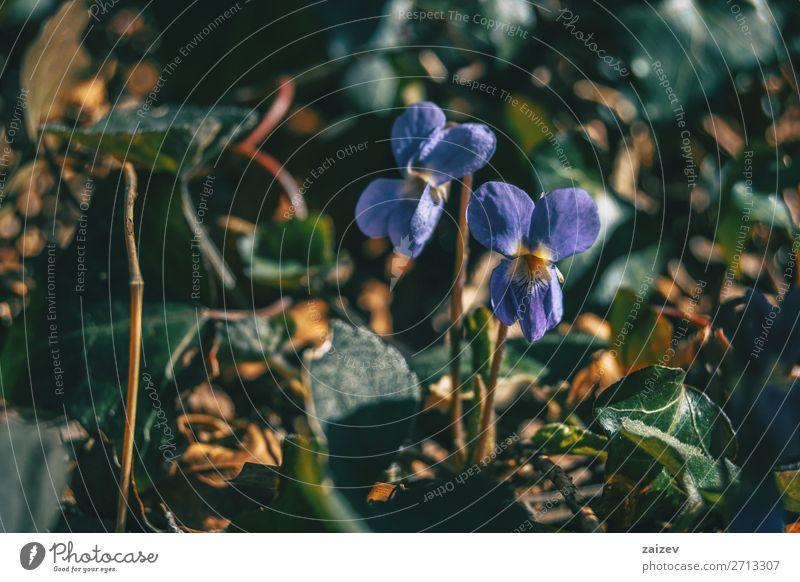 Nahaufnahme eines Paares Viola alba lila Blüten elegant schön Tapete Natur Pflanze Herbst Blume Wald Wachstum natürlich grün viola alba weißviolett Violaceae