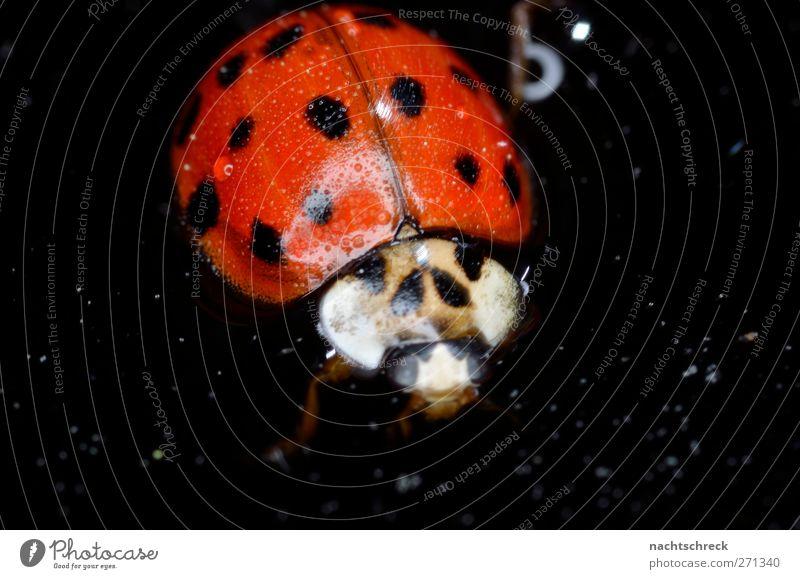 Marienkäfer Freischwimmer Wasser rot Tier schwarz dunkel Schwimmen & Baden Hilfsbereitschaft Tropfen Flüssigkeit Lebensfreude Käfer Erschöpfung Tierliebe