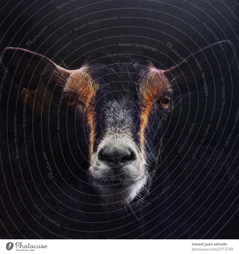 elegantes schwarzes Ziegenporträt in der Natur Porträt Tier wild Kopf Auge Ohren Behaarung niedlich Beautyfotografie wildes Leben ländlich Wiese Bauernhof