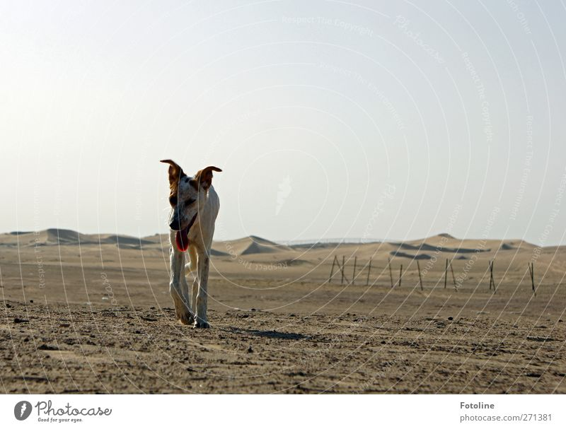 Wüstenhund Hund Natur Tier Einsamkeit Umwelt Landschaft Wärme Sand hell braun Erde natürlich Urelemente einzeln heiß