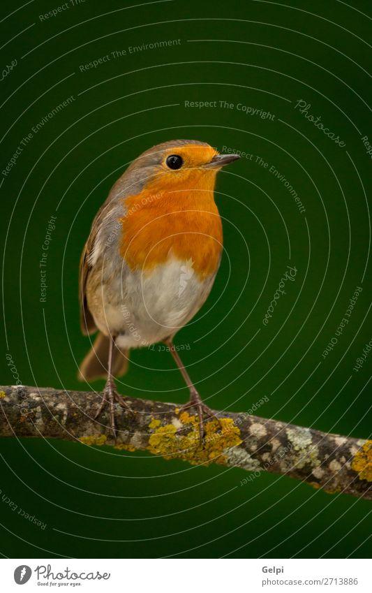 Hübscher Vogel mit einem schönen orange-roten Gefieder. Leben Mann Erwachsene Umwelt Natur Tier Blume Moos klein natürlich wild braun grün weiß Tierwelt
