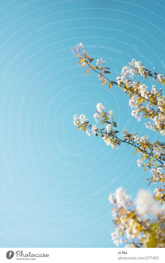 duftige Pfingsten Umwelt Natur Pflanze Tier Wolkenloser Himmel Frühling Schönes Wetter Baum Sträucher Blatt Blüte Wildpflanze Felsenbirne Garten Park Blühend