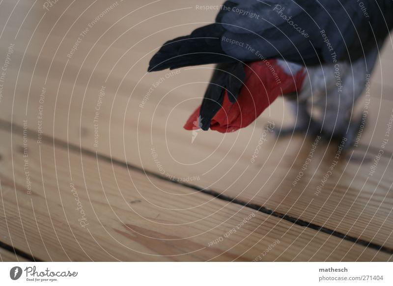 feder Tier Graupapagei Papageienvogel 1 Holz laufen grau rot Dielenboden Feder Farbfoto Gedeckte Farben Innenaufnahme Menschenleer Textfreiraum links
