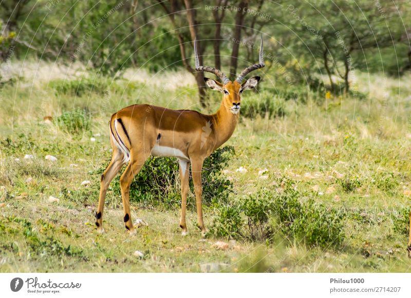 Männlicher Impala mit neugierigem Blick schön Ferien & Urlaub & Reisen Safari Mann Erwachsene Natur Tier Park natürlich wild grün Samburu Aepyzeros Afrika