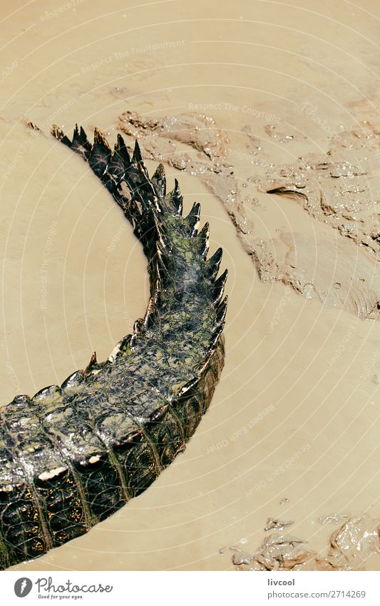 krokodilschwanz, australien Essen Leben Ferien & Urlaub & Reisen Ausflug Abenteuer Tier Fluss stehen wild Einsamkeit Fauna Krokodil Schlamm Reserve Tierwelt