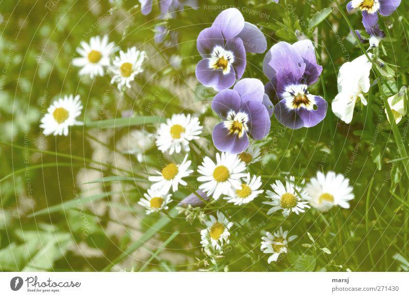 Die Drei Natur Pflanze Frühling Sommer Blume Gras Blüte Grünpflanze Nutzpflanze Duftveilchen Stiefmütterchenblüte Gänseblümchen Blühend leuchten einfach