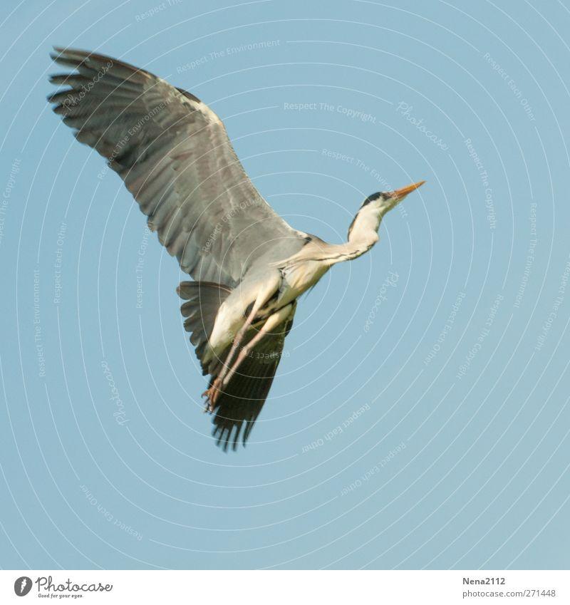 Graureiher Tier Wildtier Vogel Flügel 1 fliegen groß grau Reiher Abheben Freiheit Farbfoto Außenaufnahme Menschenleer Textfreiraum links Textfreiraum rechts