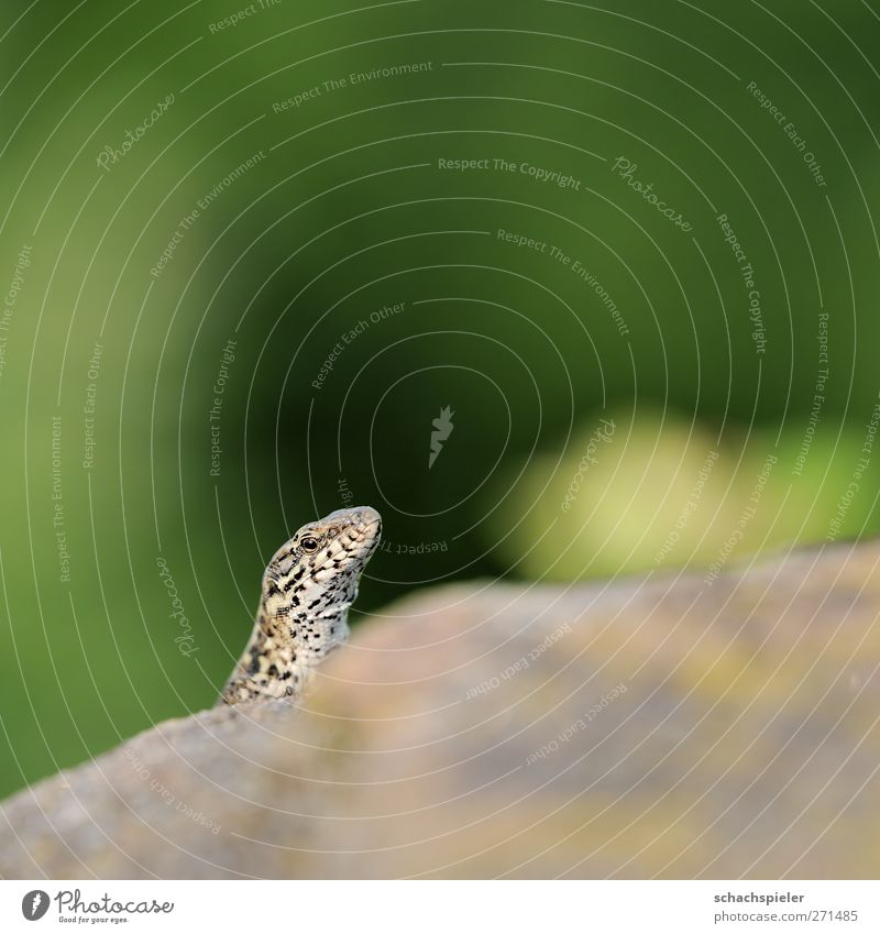 kuckuck Tier Stein Wildtier Neugier Wachsamkeit Reptil Echte Eidechsen Mauereidechse