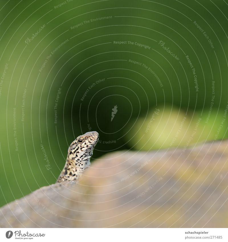 kuckuck Tier Wildtier Reptil Wildlife 1 Stein Neugier Echte Eidechsen Mauereidechse Lacertidae Podarcis muralis Wachsamkeit Farbfoto Außenaufnahme Nahaufnahme