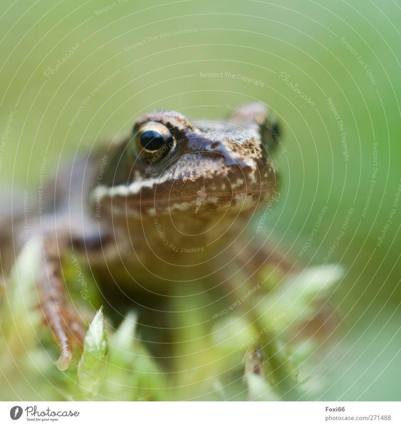Frühlingsquak Luft Wasser Gras Sträucher Garten Wiese Tier Wildtier Frosch 1 kalt natürlich Neugier wild braun grün Tierliebe achtsam ruhig Bewegung Leben
