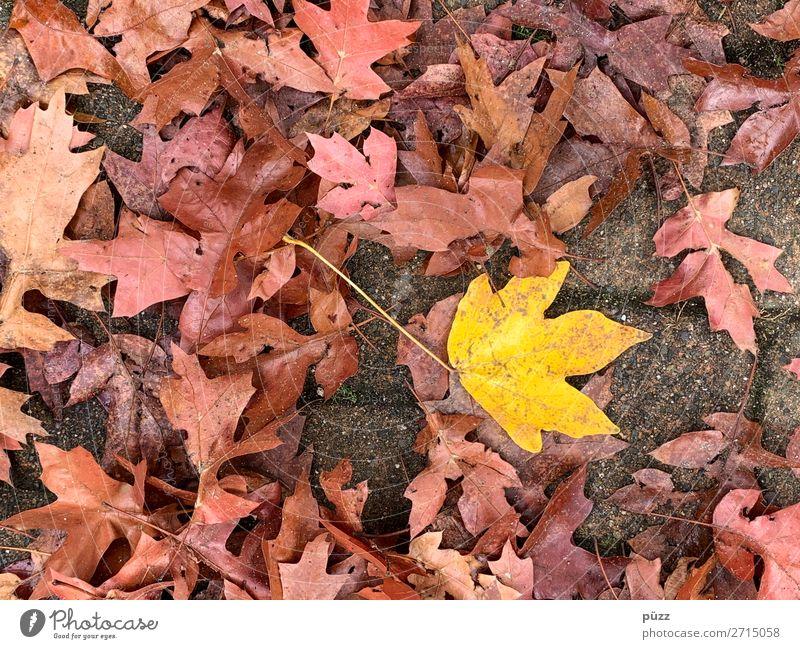 Farbtupfer Umwelt Natur Pflanze Erde Herbst Baum Blatt Garten Park braun gelb rot Herbstlaub herbstlich Herbstfärbung Ahorn Ahornblatt Kontrast Verfall Ende
