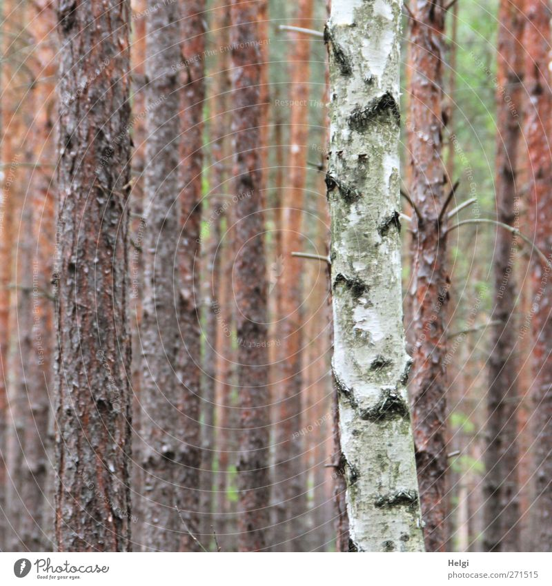 AST 5   Außenseiter Natur weiß grün Baum Pflanze Einsamkeit ruhig Umwelt grau braun natürlich Ordnung hoch Wachstum authentisch stehen