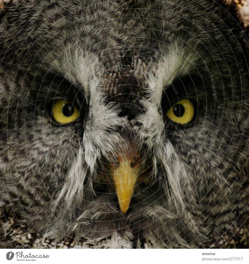 Maus … Maus … gib mir eine Maus! Tier gelb grau Vogel braun gold Wildtier Feder nah Tiergesicht Zoo Schnabel Eulenvögel Streichelzoo Eulenaugen