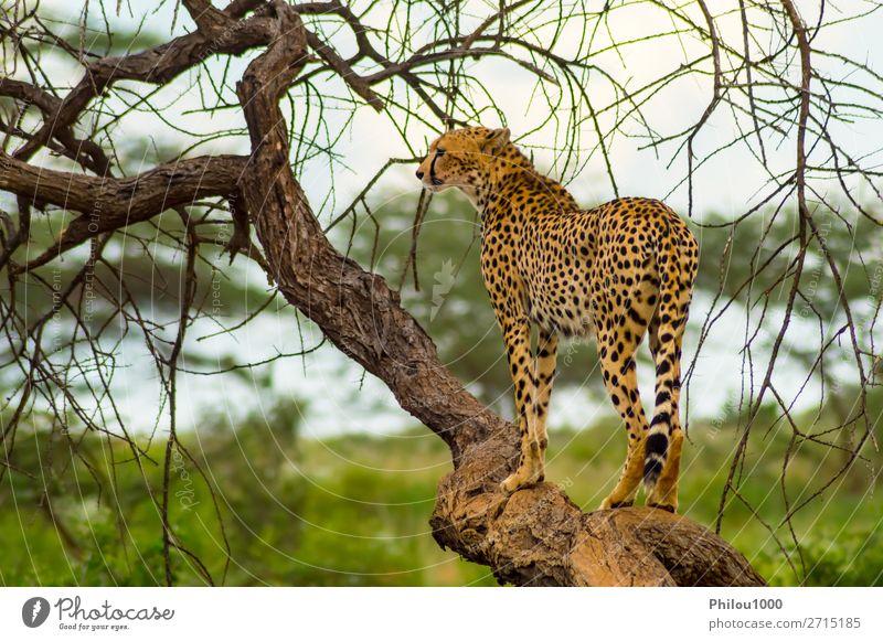 Geparden sitzen auf einem toten Baum. schön Ferien & Urlaub & Reisen Safari Natur Tier Park Katze wild Samburu Afrika Afrikanisch Tiere groß Fleischfresser