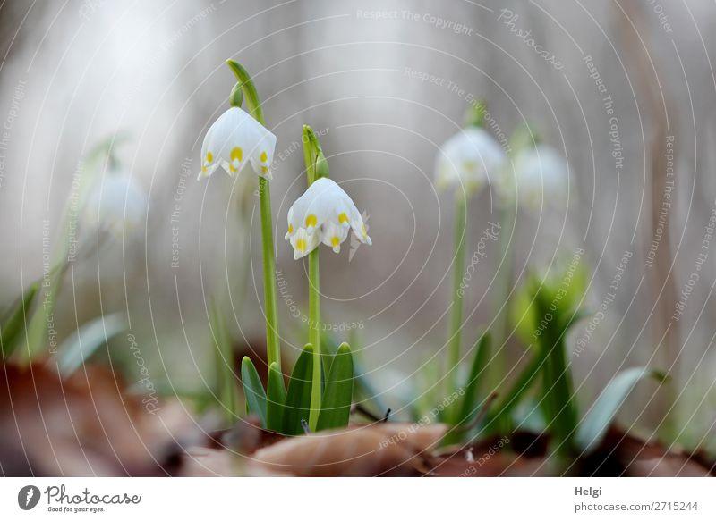 Nahaufnahme von im Wald wachsenden Märzenbechern im Gegenlicht Umwelt Natur Pflanze Frühling Blume Blatt Blüte Wildpflanze Blühend stehen Wachstum authentisch