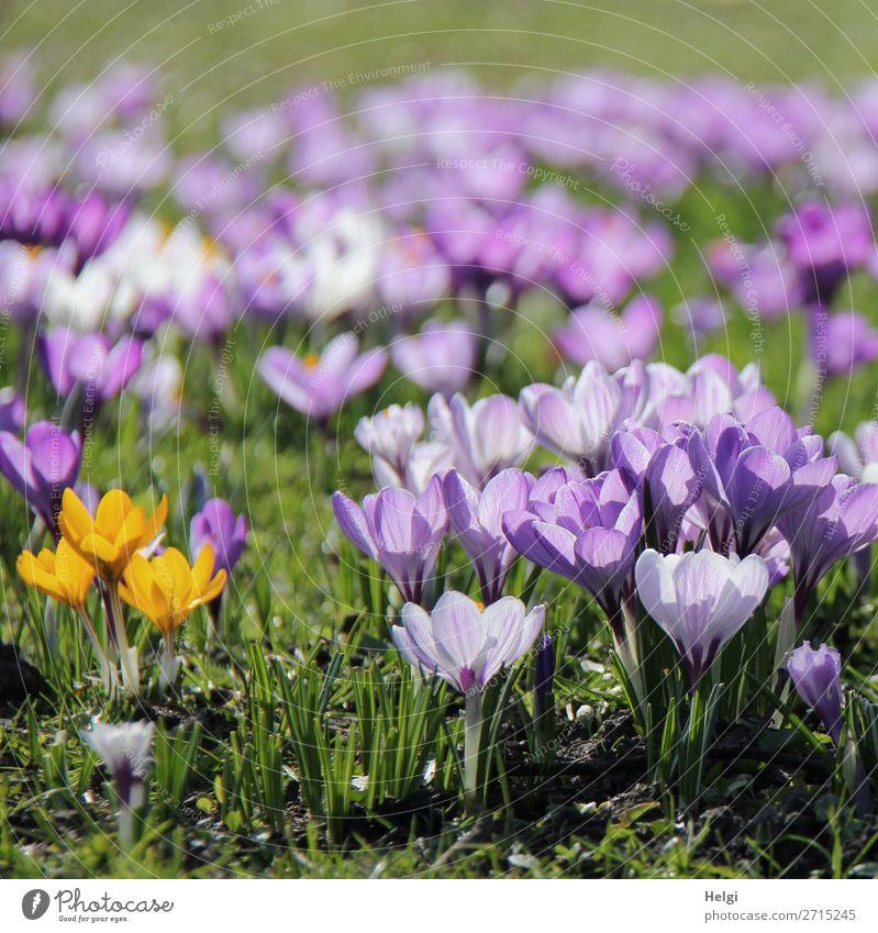 viele violette und drei gelbe Krokusse auf einer Wiese im Gegenlicht Umwelt Natur Landschaft Pflanze Frühling Schönes Wetter Blume Gras Blatt Blüte Park Blühend