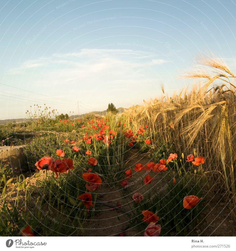Mohn am Feldrand Himmel Natur blau Sommer Blume Landschaft gelb Blüte Horizont orange Feld Wachstum leuchten Schönes Wetter Blühend Landwirtschaft