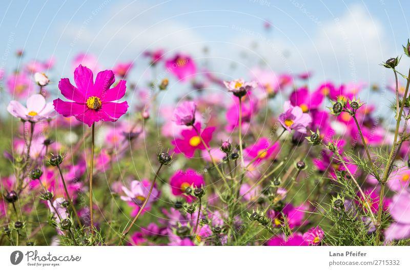 Close up of Cosmos blooming Natur Pflanze Hintergrundbild gelb rosa springen planen zerbrechlich Einkaufszentrum Astern Schmuckkörbchen ornamental ganzjährig
