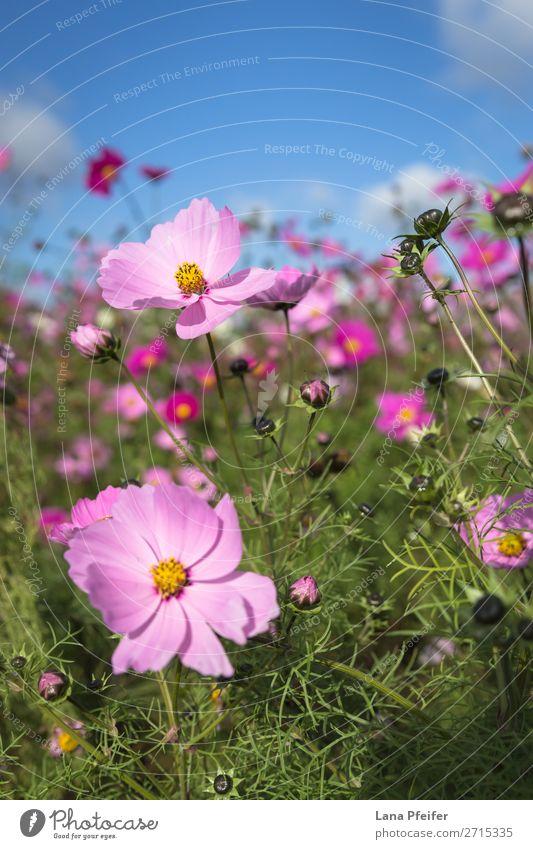 Close up of Cosmos blooming Natur Pflanze Hintergrundbild gelb rosa planen zerbrechlich Einkaufszentrum Astern Schmuckkörbchen ornamental ganzjährig