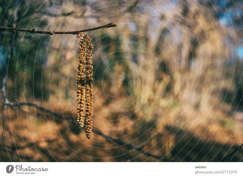 Nahaufnahme einer an einem Ast hängenden Corylus avellana Frucht schön Leben Kunst Pflanze Herbst Wald Wachstum natürlich weich braun gelb corylus avellana