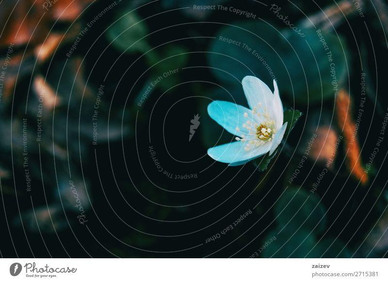 Nahaufnahme einer Blüte der weissen Anemone nemerosa in einem schattigen Wald schön Duft Tapete Pflanze Blume Wachstum frisch natürlich wild grün weiß