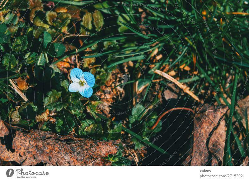 Nahaufnahme einer blauen Veronica persica-Blüte in einem Wald schön Duft Garten Tapete Natur Pflanze Blume Gras Wachstum frisch natürlich wild braun grün