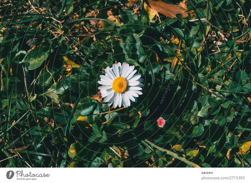 Nahaufnahme einer isolierten Gänseblümchenblume schön Leben Tapete Natur Pflanze Blume Blatt Blüte Garten Park Wiese Feld Wald Wachstum wild gelb grün weiß
