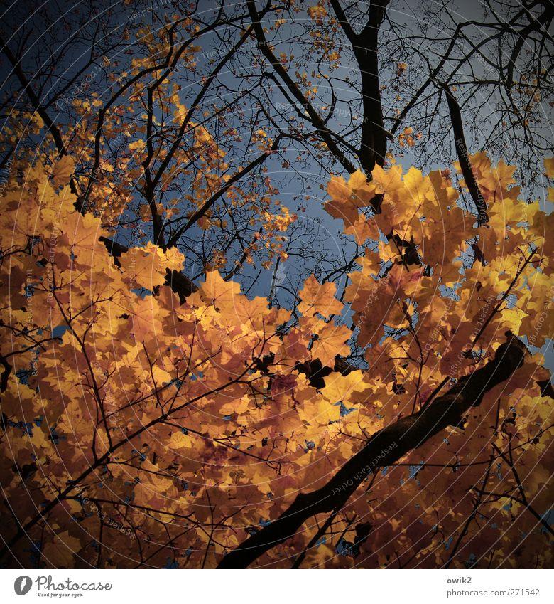 Bald ist Herbst Natur Landschaft Pflanze Himmel Klima Schönes Wetter Baum Blatt Zweige u. Äste Ahorn Laubbaum Herbstlaub verblüht dehydrieren gigantisch groß
