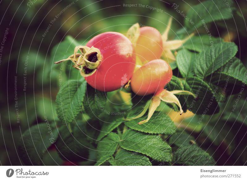 rosa rugosa rot Pflanze Sommer Blatt gelb Gesundheit Frucht Nutzpflanze Wildpflanze Hagebutten vitaminreich Kartoffelrose