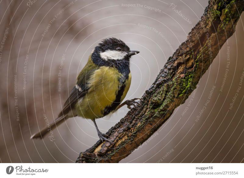 Kohlmeise Umwelt Natur Pflanze Tier Frühling Sommer Herbst Winter Schönes Wetter Baum Ast Garten Park Wald Wildtier Vogel Tiergesicht Flügel Krallen Meisen 1