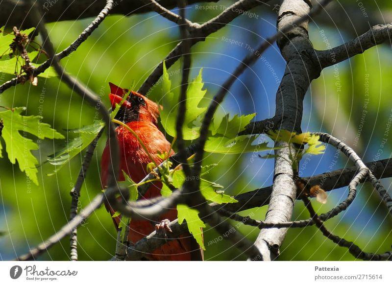 Red Cardinal Tier Vogel 1 sitzen frei Fröhlichkeit Gesundheit Glück schön blau grau grün rot Stimmung Kraft einzigartig elegant Energie Leben Stolz Farbfoto