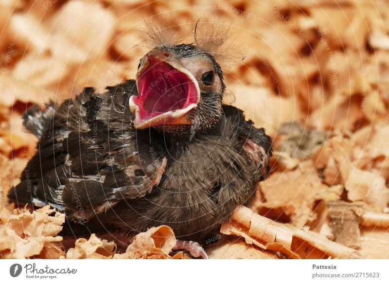 Signalisierung des Hungers Tier Vogel 1 Tierjunges Blick schreien sitzen warten kuschlig klein niedlich grau rot Neugier Hoffnung gefährlich Verzweiflung