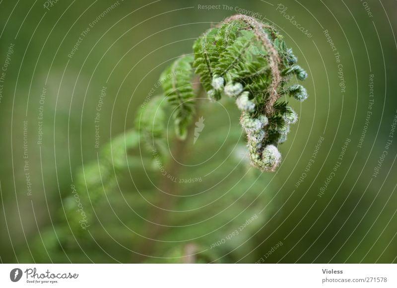 es grünt so grün wenn........... Natur Pflanze Farn Blatt Grünpflanze Wachstum Farnblatt aufgerollt Farbfoto Außenaufnahme Tag Unschärfe Schwache Tiefenschärfe