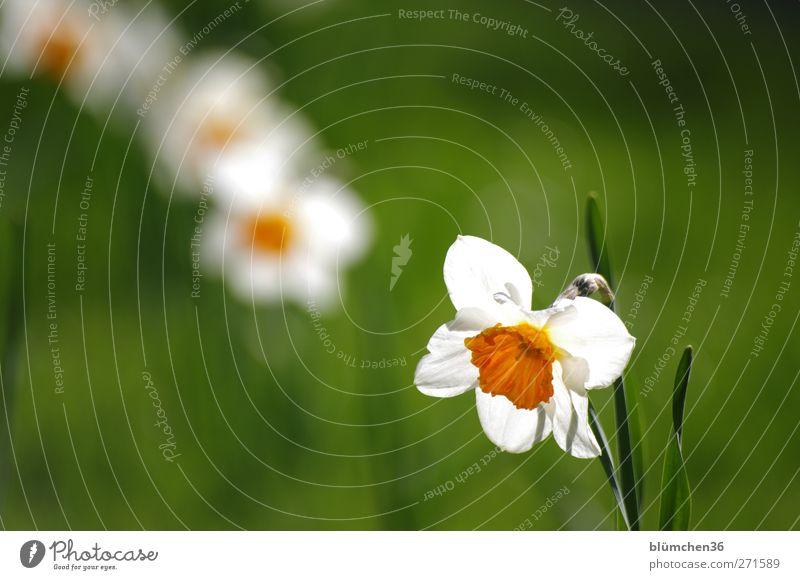 Mein rechter Platz ist leer... Natur Pflanze schön grün weiß Blume Frühling Blüte Garten Park orange leuchten Fröhlichkeit Lebensfreude Blühend Schönes Wetter