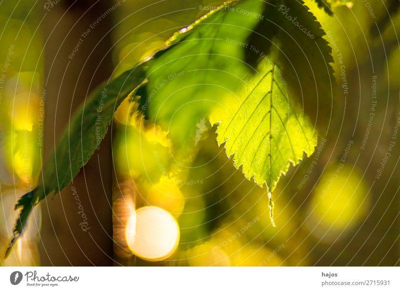 Buche, Blatt im Gegenlicht im Herbst Natur Baum grün Sonne hell leuchtend warm strahle reflexionen herbstlich Wald Tiefenschärfe gering Hintergrund unscharf