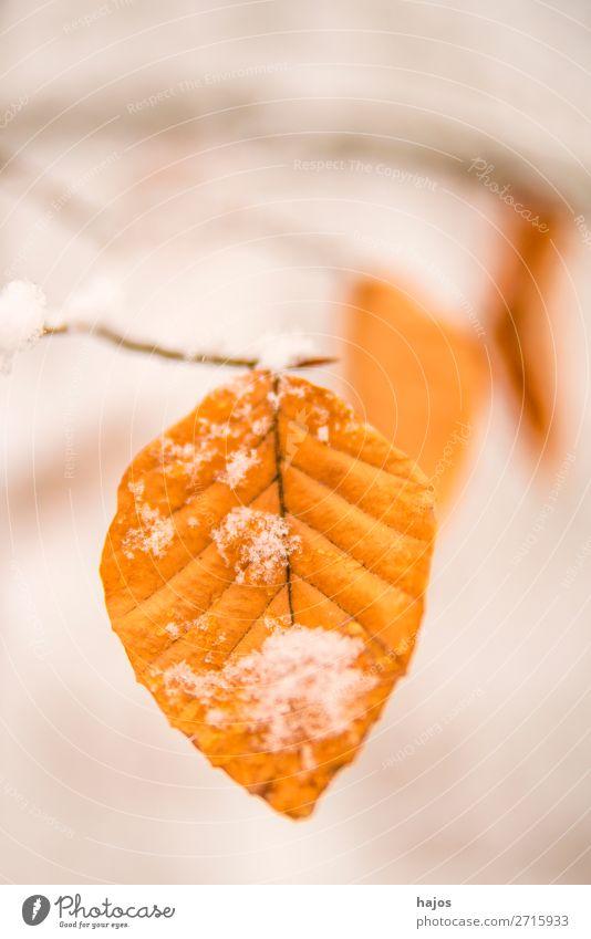Buchenblatt im Schnee Winter Natur braun weiß Blatt Schneehaube Jahreszeit Nahaufnahm Baum Wald verschneit Farbfoto Nahaufnahme Menschenleer Textfreiraum oben