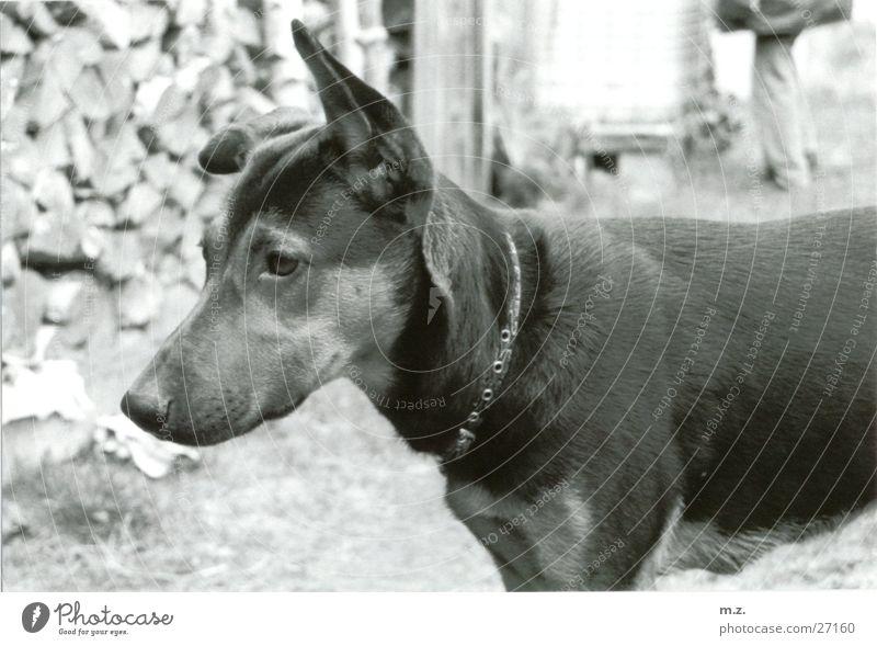 mikes lea Hund Wachsamkeit Holzstapel