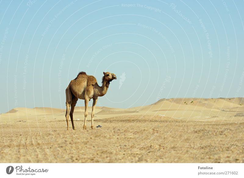 Fata Morgana Umwelt Natur Landschaft Tier Urelemente Erde Sand Himmel Wolkenloser Himmel Wärme Wüste Nutztier Fell heiß hell natürlich blau braun Dromedar