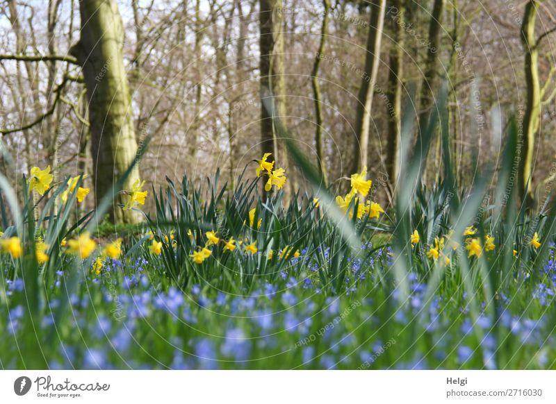 Narzissen und blaue Frühlingsblumen zwischen Bäumen im Park Umwelt Natur Landschaft Pflanze Schönes Wetter Baum Blume Blatt Blüte Gelbe Narzisse Blühend stehen